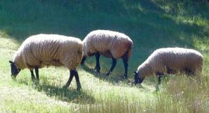 HHW-B-Sheep